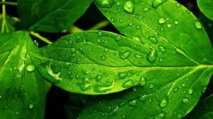 green leaves nature images wallpaper hd deskto 5443 wallpaper