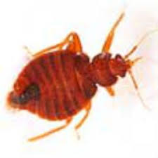 Bed Bug Exterminator Detroit 59 Best Bed Bugs Images On Pinterest Bed Bugs 3 4 Beds And Bedding