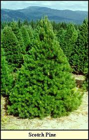 tree types kentucky christmas tree association