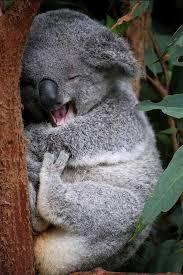 Koala Bear Meme - sleepy koala bear meme generator
