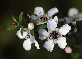 native plants nz bush medicine u2013 conservation in nz