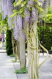 beautiful elegant purple wisteria flowers cascading off trellised