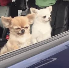 Dog In Car Meme - a video of a tiny dog falling over has become an extremely