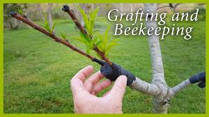 fruit tree grafting and beekeeping updates good news youtube
