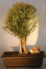 where to find discount bonsai trees