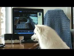 american eskimo dog calgary rocky sings the young u0026 the restless miniature american eskimo