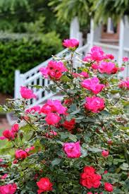 best 25 knockout roses ideas on pinterest what is oasis what