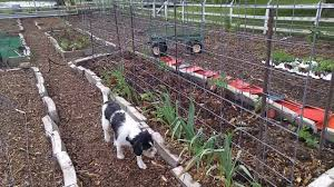 cattle panel trellis system for tomatoes youtube