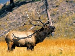 yellowstone national park elk yellowstone national park wyoming