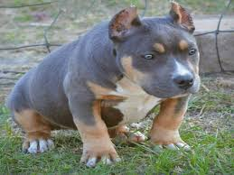 american pitbull terrier rottweiler mix the tri color american bully why it has an uncommon three colored