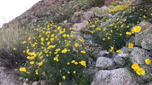 super bloom at anza borrego desert state park youtube