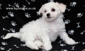bichon frise puppy 8 weeks my bichon pictures of a bichon puppy little pop