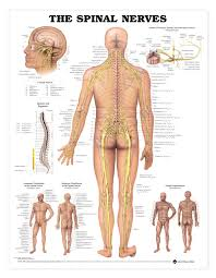 Spine Map Human Spinal Nerves Anatomical Chart Anatomy Models And
