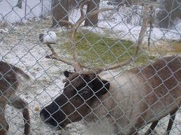 thanksgiving point sculptures santa s reindeer free event
