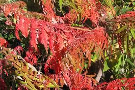 trees shrubs fall color finke gardens u0026 nursery