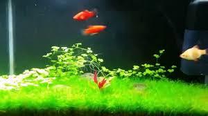 Japanese Aquascape by Aquascape Tips Hydrocotil Plant Shrimp Moss Platy Hairgrass