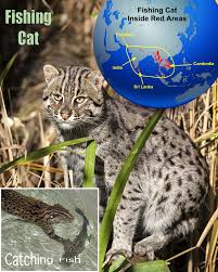 fishing cat facts for kids
