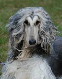 afghan hound weight maestro u0026 yentle gonny de niet u0027s afghan hounds these 2 are the