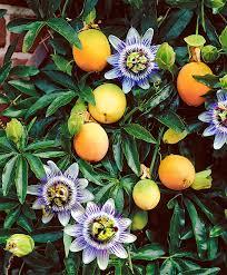 the 25 best passion flower ideas on pinterest stigma flower