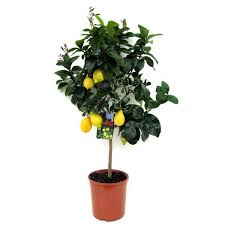 lemon and orange citrus trees johnstown garden centre ireland