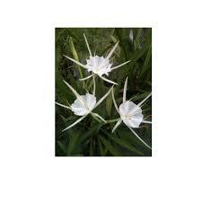 native wetland plants 4 in spider lily potted bog marginal pond plant bp spider lily