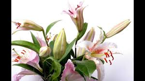 Lilies Flower Lily Flower Time Lapse Youtube