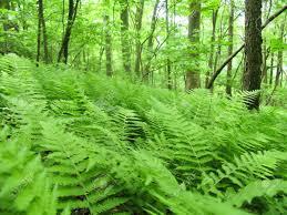 native tennessee plants hardy native fern varieties garden delights online plant nursery