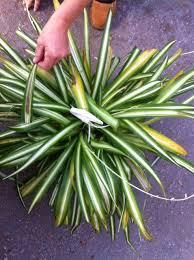 spider plant leaf problem ask an expert