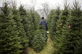 sheets christmas tree farm coshocton ohio christmas tree