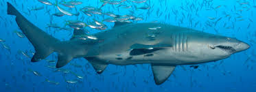grey nurse shark fauna u0026 flora international