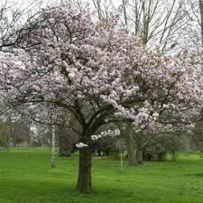 ornamental trees for sale at trees direct