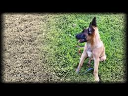 belgian shepherd usa shepherd canine training videos