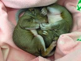 Florida wildlife images Florida wildlife hospital busy caring for baby squirrels local jpg