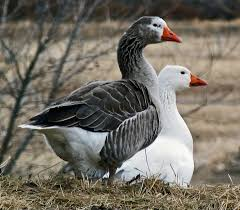 domesticated geese country life pinterest bird animal and