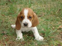 bluetick coonhound puppies for sale in louisiana basset hound puppies for sale