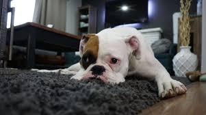 comment empecher mon chien de monter sur le canapé mon chien monte sur la table que faire
