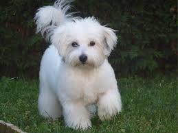 haircut for long torso coton de tulear puppy cut torso relatively short still long on