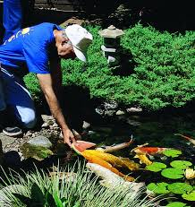 Fish For Backyard Ponds Backyard Ponds Make Fish Keeping Fun Hometalk