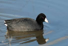 what s that small black duck with a white bill search and serendipity