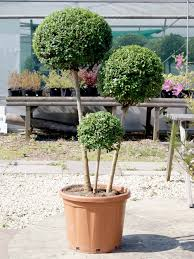 Pom Trees Box Leaf Privet 1 2 Standard Topiary Buy U0026 Hire Top Topiary
