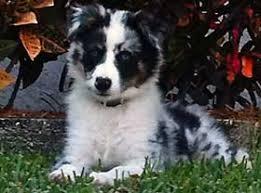 6 week australian shepherd new puppy care