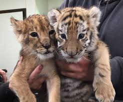 is cub open on thanksgiving lion and tiger cub being raised together at six flags great