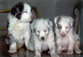 australian shepherd vs husky white fright australian shepherd health u0026 genetics institute