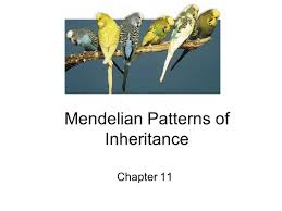 mendelian patterns of inheritance ppt video online download