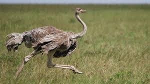 ostrich running ngsversion 1412640507670 jpg