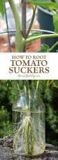 best 25 growing tomato plants ideas on pinterest tomato garden