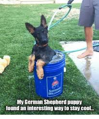 Stay Cool Meme - sher my german shepherd puppy found an interesting way to stay cool