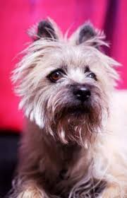 cairn terrier collectibles lovetoknow