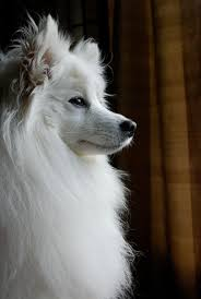 american eskimo dog eating habits best 25 image dog ideas on pinterest pet dogs images cute dogs