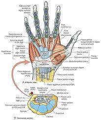Tendon Synovial Sheath Biceps Tendon Rupture Anatomy Orthopaedic Diagrams Pinterest